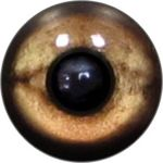 Taxidermy Reptile Eyes 9