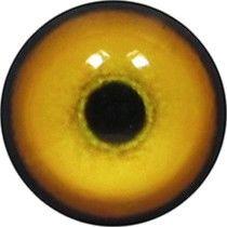 Taxidermy Tiger Eyes 1
